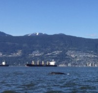 Humpback whale in English Bay