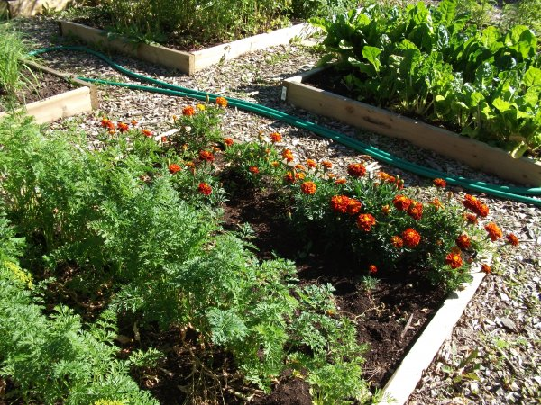 Marigolds with the Carrots